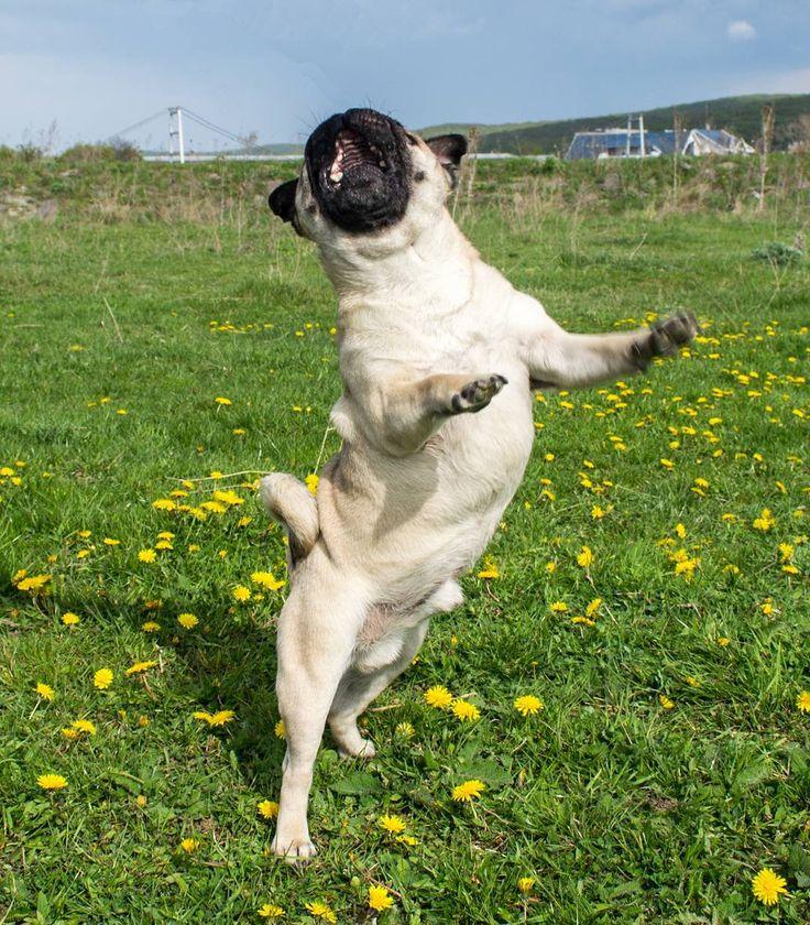 How high can you jump?  #mauricethepug #jump #crazy #icanjump #puglife #jumparound #jumphigh #jumpttothesky #spring #sunnyday #happy #pug #mops #dog #puppy