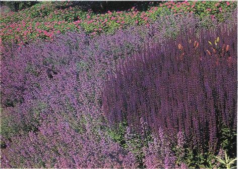 Salvie - Salvia officinalis - haveabc.dk