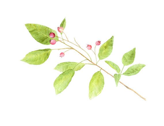 An unframed print based on my botanical watercolor of a beautiful branch from one of my serviceberry bushes. The serviceberry (Amelanchier) is a lovely shrub to have in the garden with four-season int
