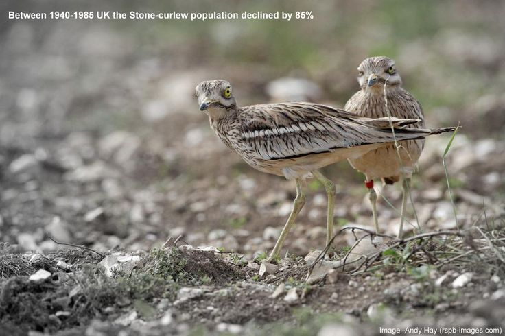 WE can #defendnature like the unique #stonecurlew - http://bit.ly/1ED2Z2e ! @TheBrecksBNG @SupportNWT @the_ecologist