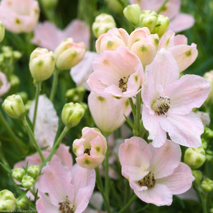 Ostróżka wielkokwiatowa 'Delfix Rose' - Delphinium grandiflorum 'Delfix Rose' Szkółka drzew i krzewów ozdobnych Przylep
