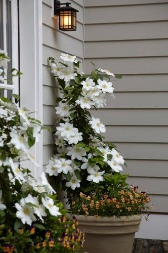 White clematis and orange million bells planted in pots by the door
