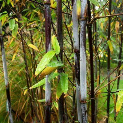 les 25 meilleures id es de la cat gorie bambou fargesia sur pinterest fargesia miscanthus. Black Bedroom Furniture Sets. Home Design Ideas