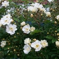 Ljuv honungsros | Rosa helenae 'Hybrida'