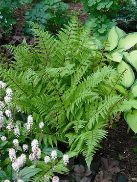 "athyrium felix-forma Lady fern w red stem 2' = 3' h zones 3-8 not evergreen  Beautiful ""deep"" red stem with lush green foliage."