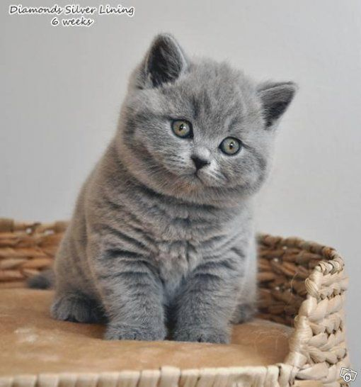 brittish shorthair @tiinatolonen