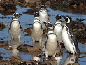 Pingüinos de Magallanes  - Península Valdés - Andrés Bonetti
