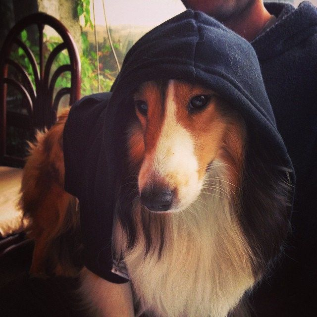 Sheltie with hoodie