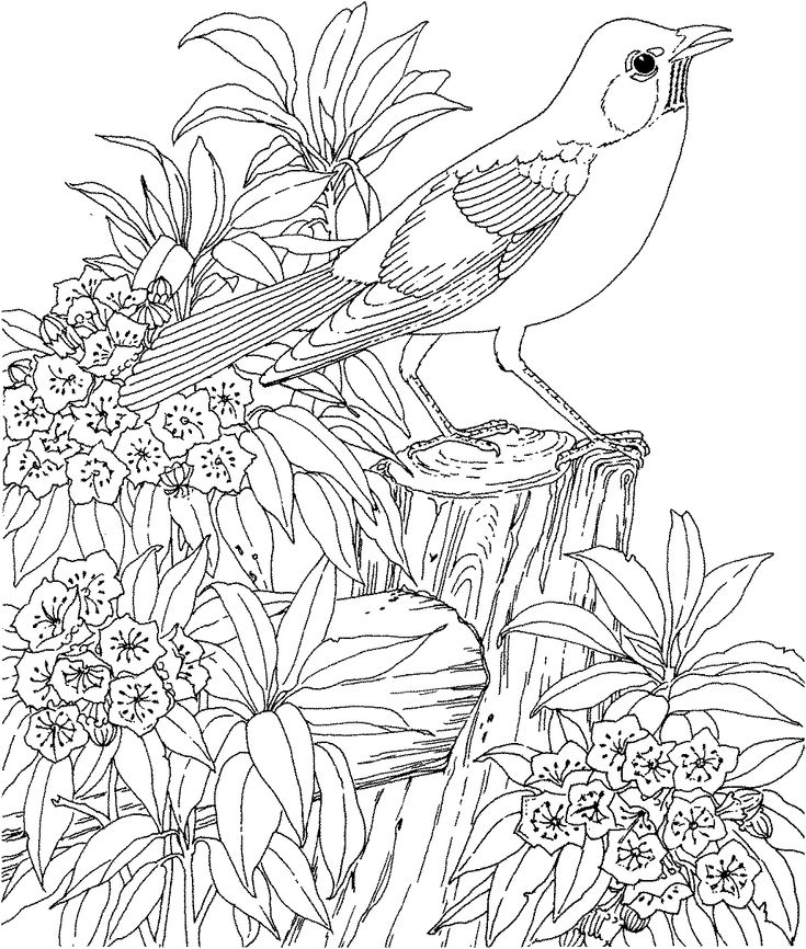 American Robin And Mountain Laurel Connecticut State Bird Flower Coloring Page From Category Select 27237 Printable Crafts Of Cartoons