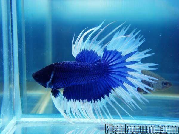 1000 images about betta fish on pinterest blue and for Blue betta fish
