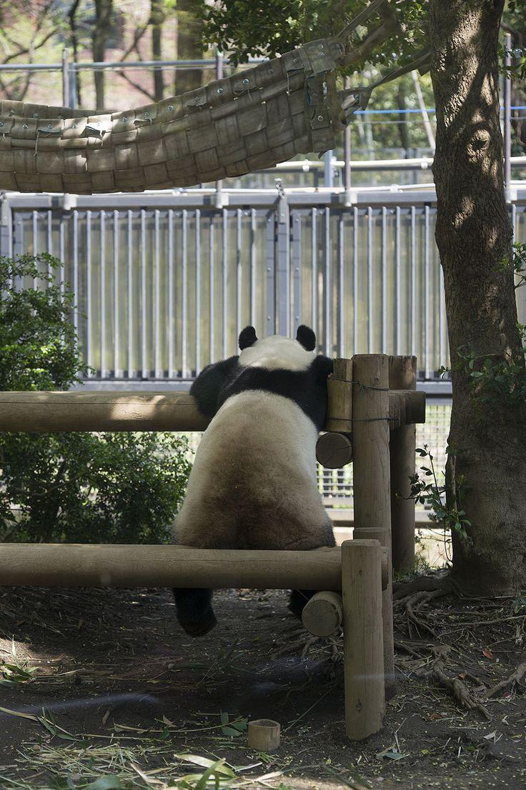 今日のパンダ(524日目) | 毎日パンダ