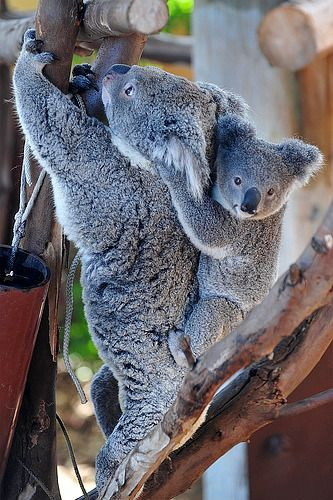 How can you not like a Koala?