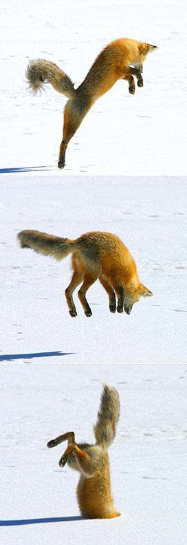 Fox jumping to catch his dinner.  They have great hearing.