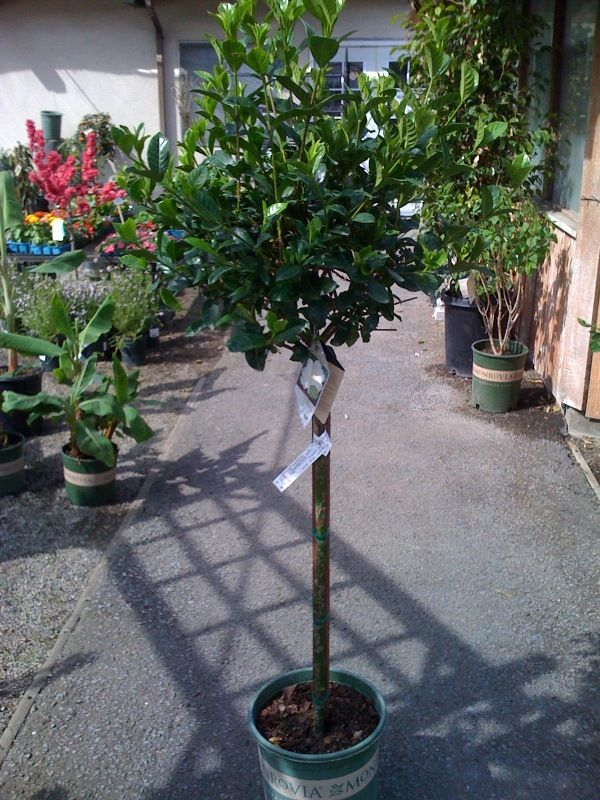Enjoy The First Love Gardenia In A Topiary Form Plant