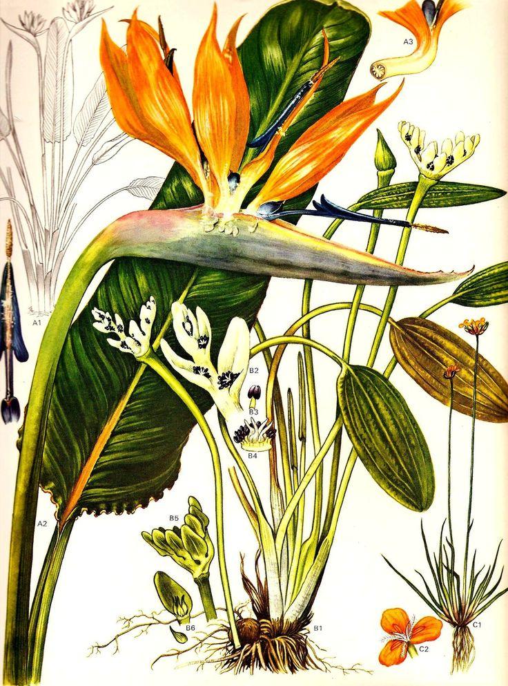 Vintage Botanical Print 1970 BIRD of PARADISE Color Art Wild Flowers Book PLATE…
