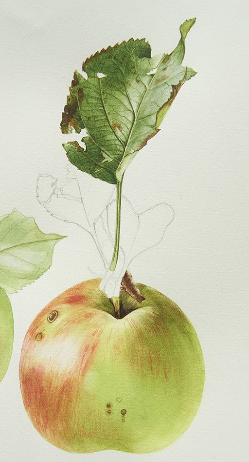 My second tutorial in October is the fruit to accompany the bramley apple leaf. Join me now http://www.subscribe.billyshowell.com