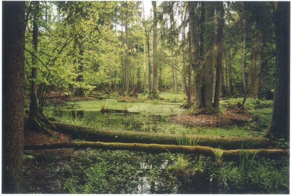 Raport IUCN z misji terenowej w Białowieży stwierdza, że zarządzanie Puszczą trzeba dostosować do zasad zapisanych w porozumieniu z UNESCO, czyli pozwolić, by las rozwijał się i zmieniał przy minimalnej interwencji.