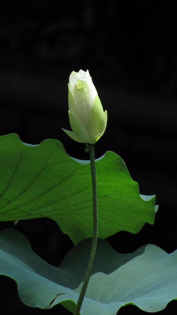 115 best lotus flowers images on pinterest lotus flowers lotus white lotus bud mightylinksfo
