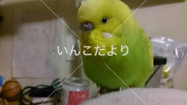 鳴き声 セキセイ インコ