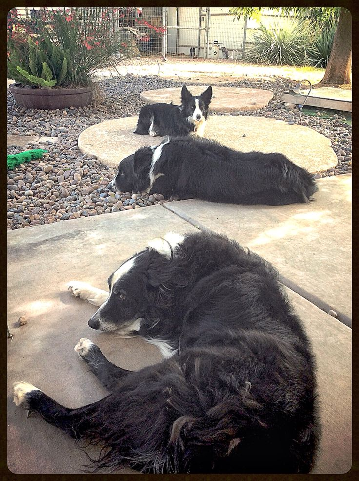 Lazy Sunday afternoon for these three Border Collies.