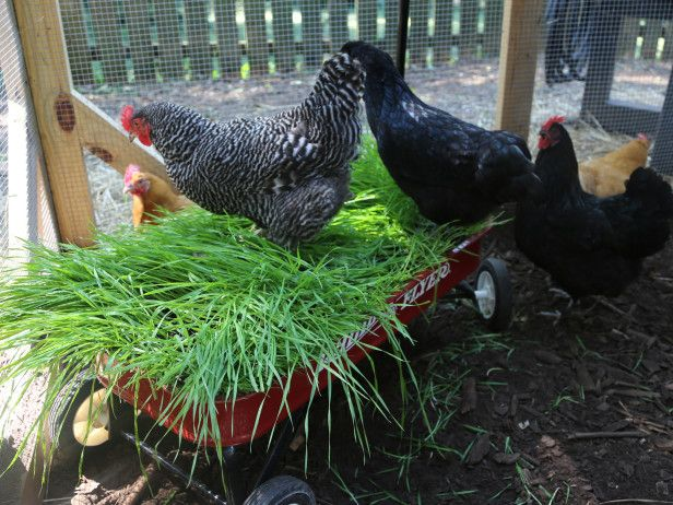 Try a Wheatgrass Wagon (Your Birds Will Thank You) --> http://www.hgtvgardens.com/chickens/backyard-chicken-coop-ideas?s=5&?soc=pinterest