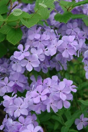 Phlox divaricata 'Blue Moon' (Woodland phlox) - Perennial - Zones 3-8, Height 12-18 in. Selected for outstanding flower color and very full flower petals, 'Blue Moon' bears many fragrant, 5-petaled flowers with the arrival of spring. Enjoy a knee-high sea of elegant, violet-blue flowers while simultaneously attracting hummingbirds & butterflies into your garden. Foliage is lance shaped and medium green. A long-lived, carefree native groundcover.