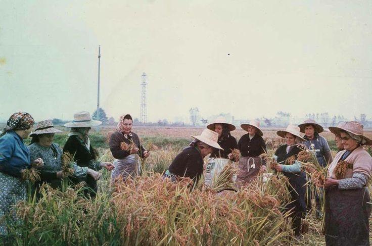 Lomellina, ritrovo di mondine negli anni '70. #storia #tradizioni #riso Pic: Maristella Russo