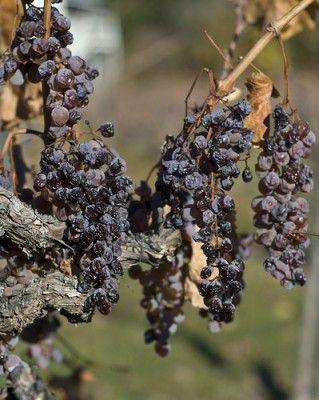 The Wines of Hungary -- the Next Big Thing?  on Smithsonian.  Photo: Wine grapes with botrytis fungus, or 'noble rot' used in the Tokaj region    Read more: http://blogs.smithsonianmag.com/food/2009/04/the-wines-of-hungary-the-next-big-thing/#ixzz2OIv0fCcX  Follow us: @SmithsonianMag on Twitter