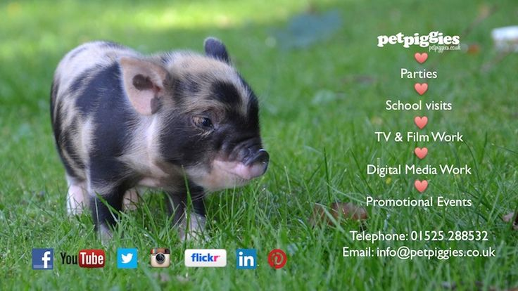 Blog | Petpiggies | Micro Pigs : Micro Pigs For Sale : Mini Pigs : Micro Pig Services | Page 32