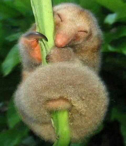Silky Anteater. Looks so happy : )