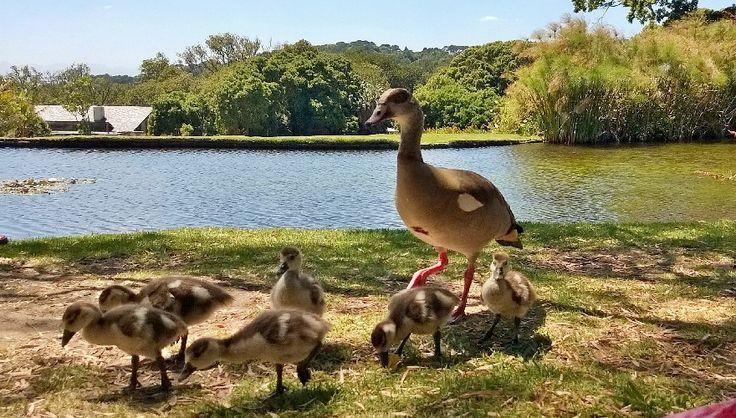 Family of Egyptian Geese resident in Kirstenbosch National Botanical Garden, Cape Town