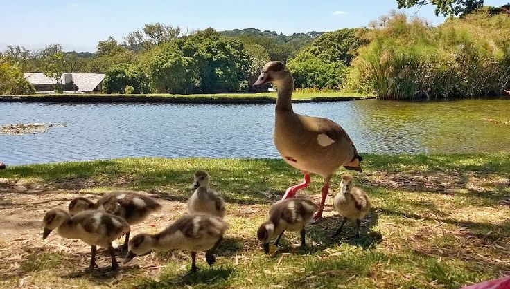 Family of Egyptian Geese resident in Kirstenbosch National Botanical Garden, Cape Town