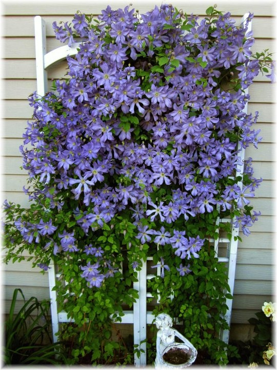 476 Best My Clematis H E Aven Images On Pinterest