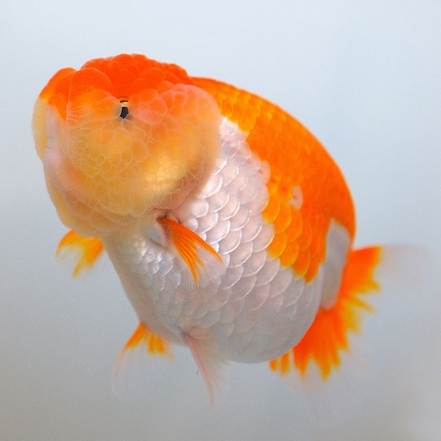 1318 best goldies betas koi images on pinterest for Can tropical fish live with goldfish