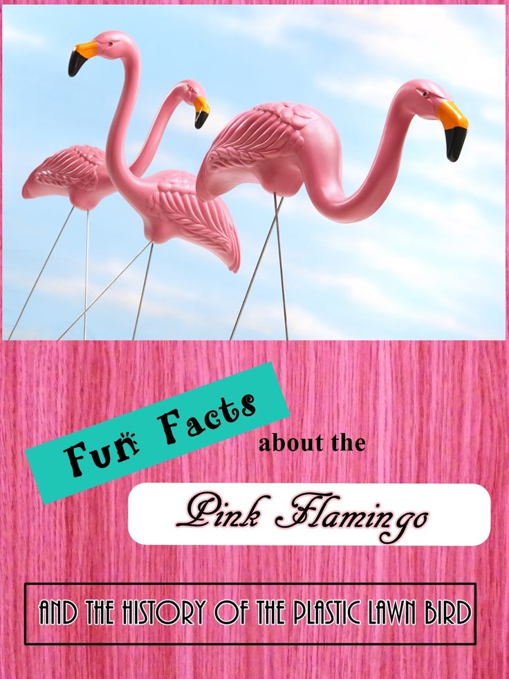Why We Love the Pink Flamingo - Read about the beautiful yet quirky long-legged pink bird and where did that plastic lawn bird come from.