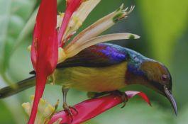 Hobi Burung: Cara Perawatan Burung Kolibri Wulung