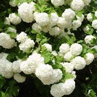 """Common Snowball Bush is an ornamental shrub that has been a garden favorite for centuries because of the """"balls of snow"""" it produces in late spring. One would make an eye-catching accent plant for your front yard, or plant several along your house or shed for a short, ornamental hedge #trees #photo #nature #classic #sky #shrubs #hedges #gardening #plants #landscape #flowers"""