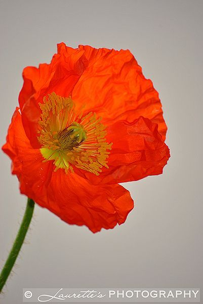 Red Poppy - Photograph