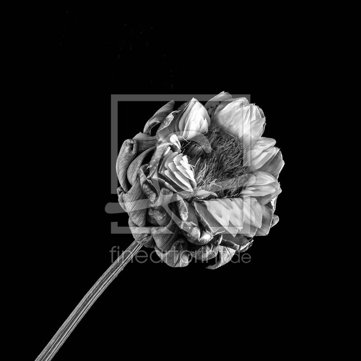 Artischockenblüte Leinwandbild, Poster, Tapete