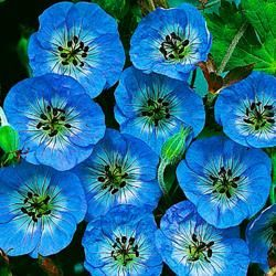 Geranium Buxton's Blue - This true blue perennial is perfect for semi-shaded borders. An easy care plant, it blooms from late spring to early summer. Cutting back faded flowers ensures future blooms for lucky zones 4-8.