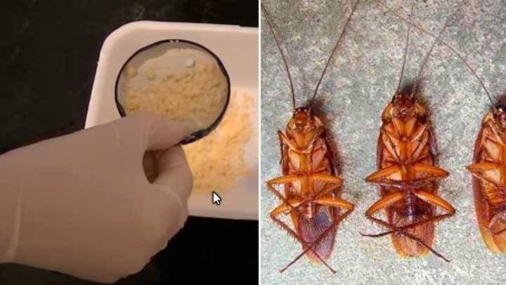 Si no lo has probado, hazlo hoy mismo y desaparece todas las cucarachas que haya en tu casa definitivamente. ¡Quedaras maravillado, porque realmente funciona!