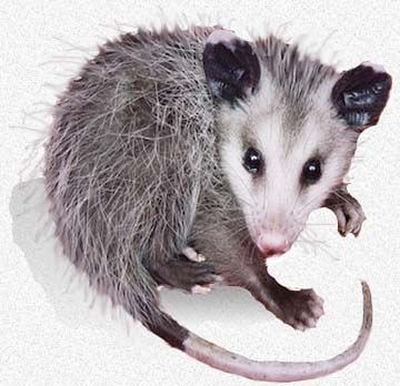 how to tell how old a possum is