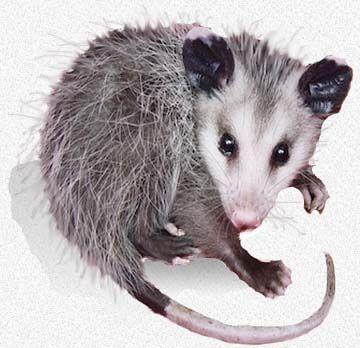 Raising Orphaned Opossums Wildlife Identification