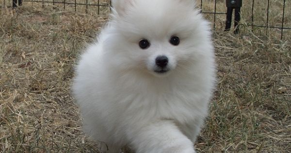 Top 5 Most Affectionate Dog Breeds | Breed#05 | Cute Things | Pinterest | Toys, Pets and American eskimo dog