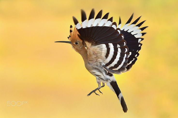 hoopoe Upupa epops - http://www.wildlifenature.eu/Galeria_c-4