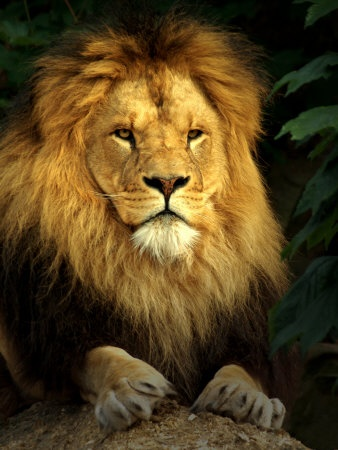 an essay on the lion the king of the jungle The lion king hero's journey essay topics: the lion king of the jungle and disney movies each generation has its the lion king in the animation film.