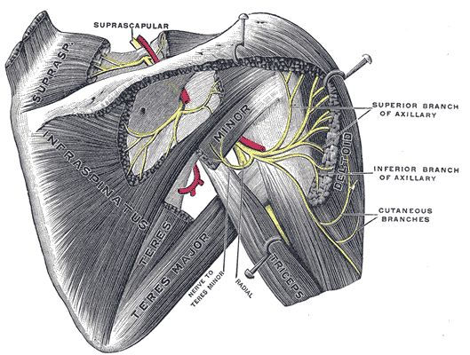 Gray810 - Teres minor muscle - Wikipedia, the free encyclopedia