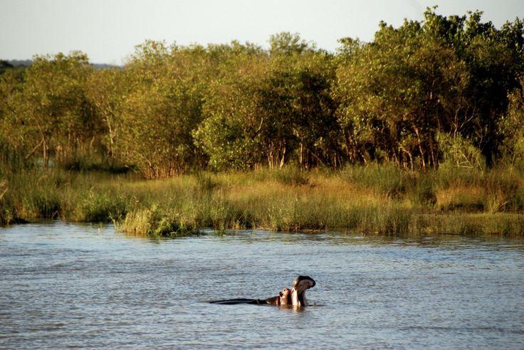 Hippos in Port Elizabeth, South Africa
