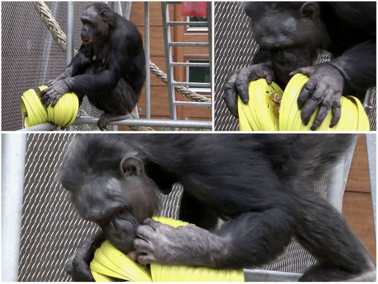 226 Best Images About Zoo Enrichment Ideas On Pinterest