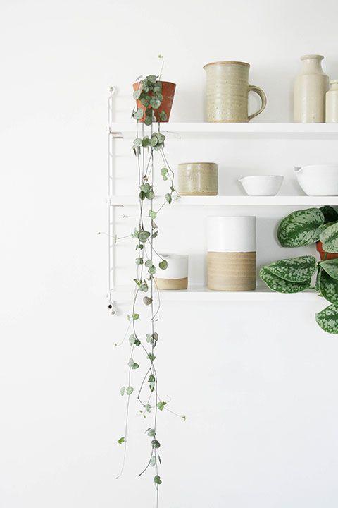 String of Hearts vine   Trailing plants on shelving   Pocket string